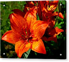 Acrylic Print featuring the photograph Fire Lilies by Marilynne Bull