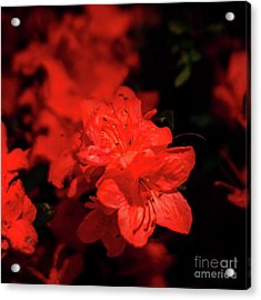 Fire Red Azaleas Acrylic Print by Tamyra Ayles