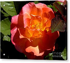 Fire Rose Acrylic Print