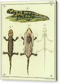 Acrylic Print featuring the drawing Fire Salamander Anatomy by Christian Leopold Mueller