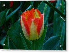 Fire Tulip Acrylic Print by David Houston