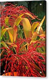 Firecracker Bromeliad Acrylic Print by Stephen Mack