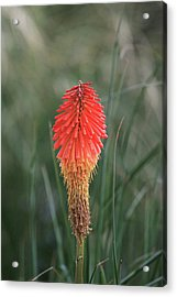 Firecracker Acrylic Print by David Chandler