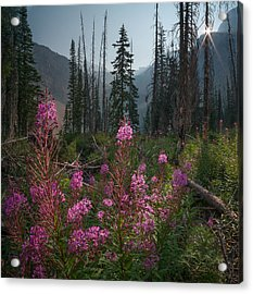 Fireweed Sunrise // Bob Marshall Wilderness  Acrylic Print