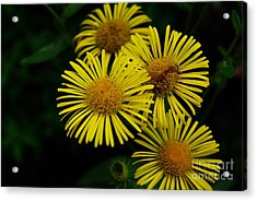 Fireworks In Yellow Acrylic Print by John S
