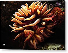 Firey Anemone Acrylic Print