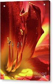 Firey Lily Acrylic Print by Sabrina L Ryan