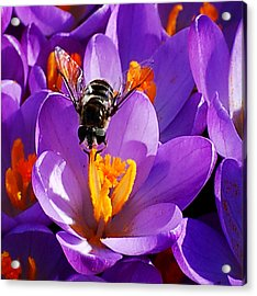 First Bee Of Spring Acrylic Print by Kathleen Stephens
