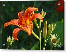 First Flower On This Lily Plant Acrylic Print