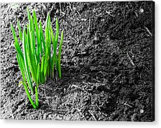 First Green Shoots Of Spring And Dirt Acrylic Print