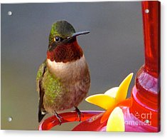First Hummer Of 2015 Acrylic Print