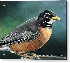 First Robin Acrylic Print