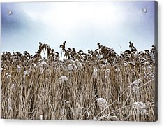 First Snow On Roman Reed Acrylic Print