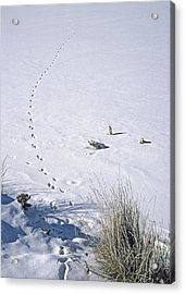 First Tracks Acrylic Print by Bruce Gilbert