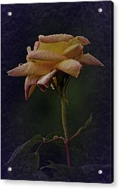 First Vintage Rose 2017 Acrylic Print by Richard Cummings