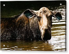 First West Branch Pond Moose Acrylic Print