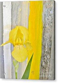 First Yellow Iris Acrylic Print by Marsha Heiken