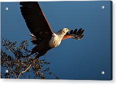 Fish Eagle Taking Flight Acrylic Print by Johan Swanepoel