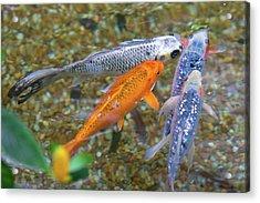 Fish Fighting For Food Acrylic Print