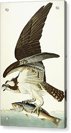 Fish Hawk Acrylic Print by John James Audubon
