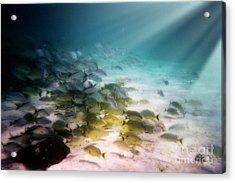 Fish Swim In The Light Acrylic Print by Sven Brogren
