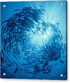 Fishes Swarm Underwater Acrylic Print by Panoramic Images