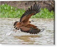 Acrylic Print featuring the photograph Fishing Hawk by Wade Aiken