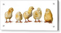 Five Chicks In A Row Acrylic Print