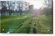 Five Ducks Walking In Line At Sunset With London Museum In The B Acrylic Print
