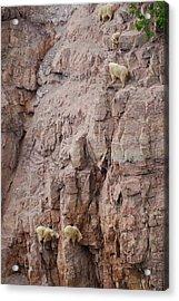 Five Goats Climbing Acrylic Print