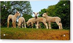 Five Little Lambs Acrylic Print