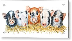 Five Little Pigs Acrylic Print by Sandra Moore