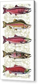Five Salmon Species  Acrylic Print by JQ Licensing