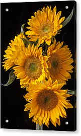 Five Sunflowers Acrylic Print by Garry Gay