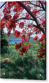 Flamboyan Tree Acrylic Print by George Oze