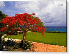 Flamboyant Tree In Grand Cayman Acrylic Print by Marie Hicks