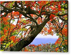 Flamboyant Trees- St Lucia Acrylic Print by Chester Williams