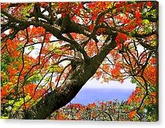 Flamboyant Trees- St Lucia Acrylic Print