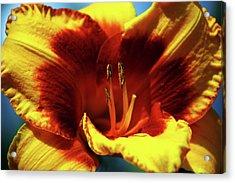 Flame Daylily 1238 H_2 Acrylic Print