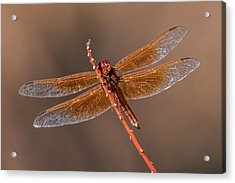 Acrylic Print featuring the photograph Flame Skimmer Close Up by Dan McManus