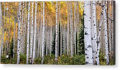 Flaming Aspens - Crested Butte Colorado Acrylic Print