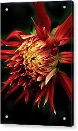Flaming Dahlia  Acrylic Print by Jessica Jenney