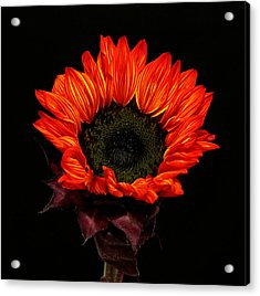 Acrylic Print featuring the photograph Flaming Flower by Judy Vincent