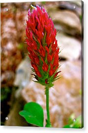 Acrylic Print featuring the photograph Flaming Red by Debra     Vatalaro