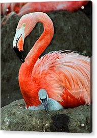Flamingo And Baby Acrylic Print by Anthony Jones