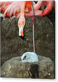 Flamingo And Chick Acrylic Print by Anthony Jones
