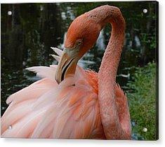 Flamingo Feathers Acrylic Print by Amanda Vouglas
