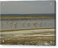 Flamingos Magadi Hot Springs Kenya Acrylic Print