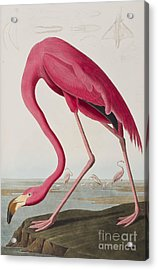Flamingo Acrylic Print by John James Audubon