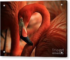 Flamingo Poised Acrylic Print by Toma Caul